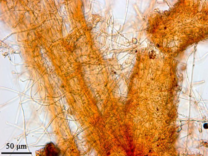 Image of Texas root rot
