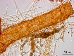 Image of <i>Phymatotrichopsis omnivora</i> (Duggar) Hennebert 1973
