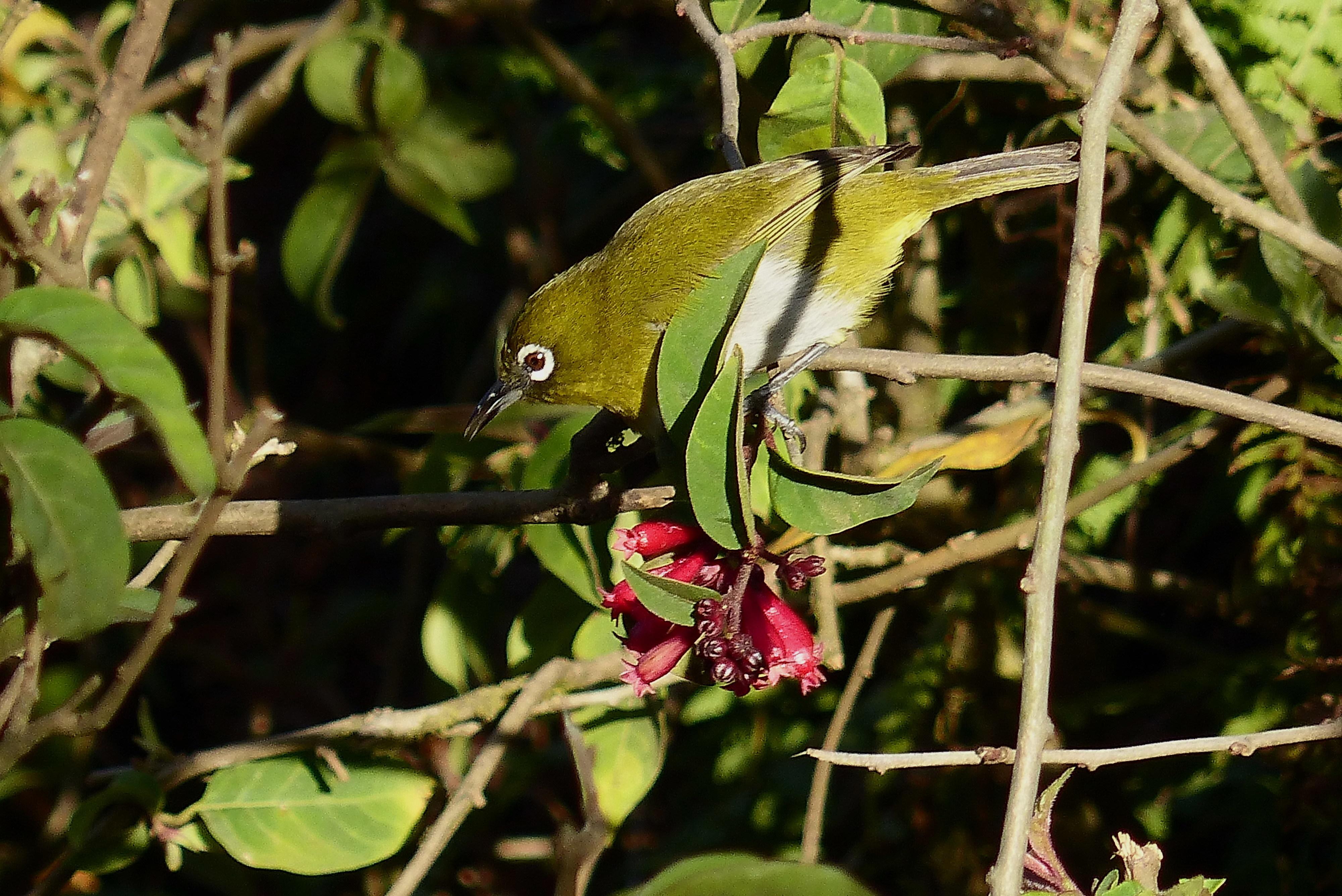 Image of Ceylon White-eye