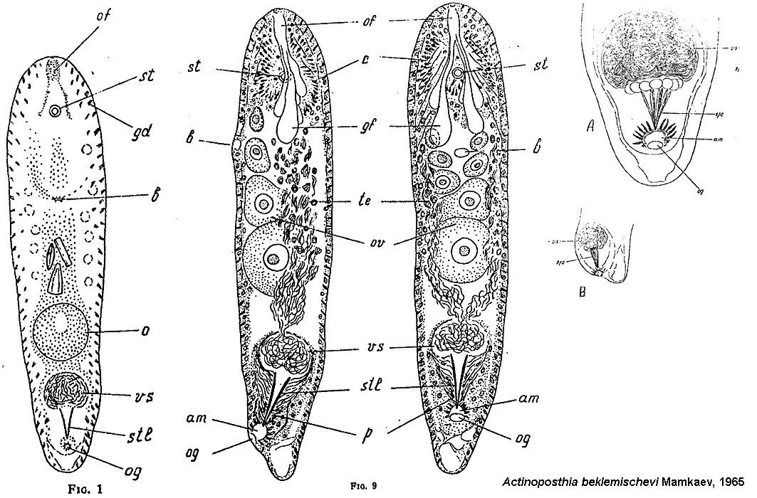 Image of acoel flatworms