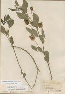 Image of <i>Orbexilum stipulatum</i>
