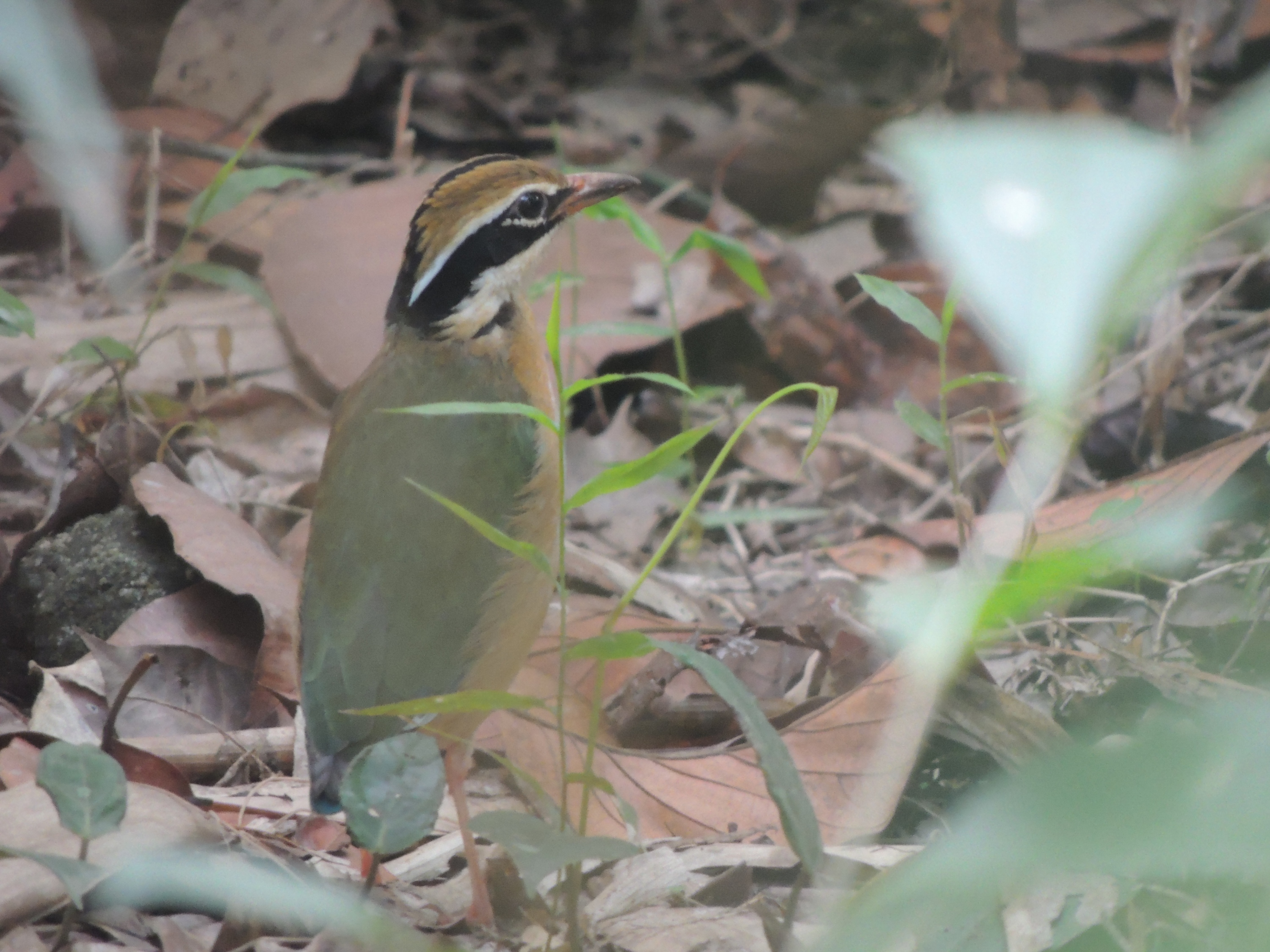 Image of Indian pitta