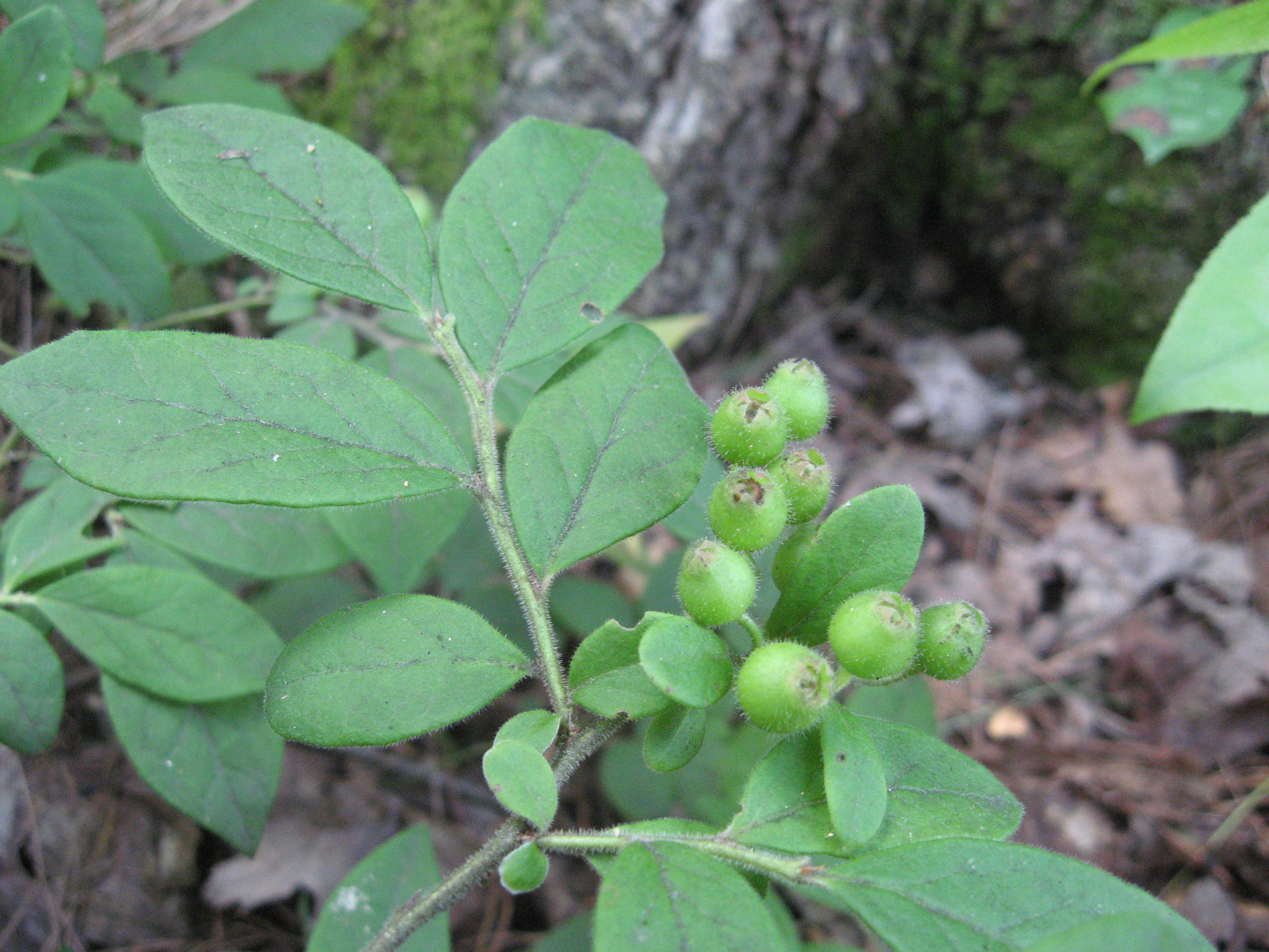 Image of hairy blueberry