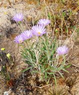 Image of Mojave woodyaster