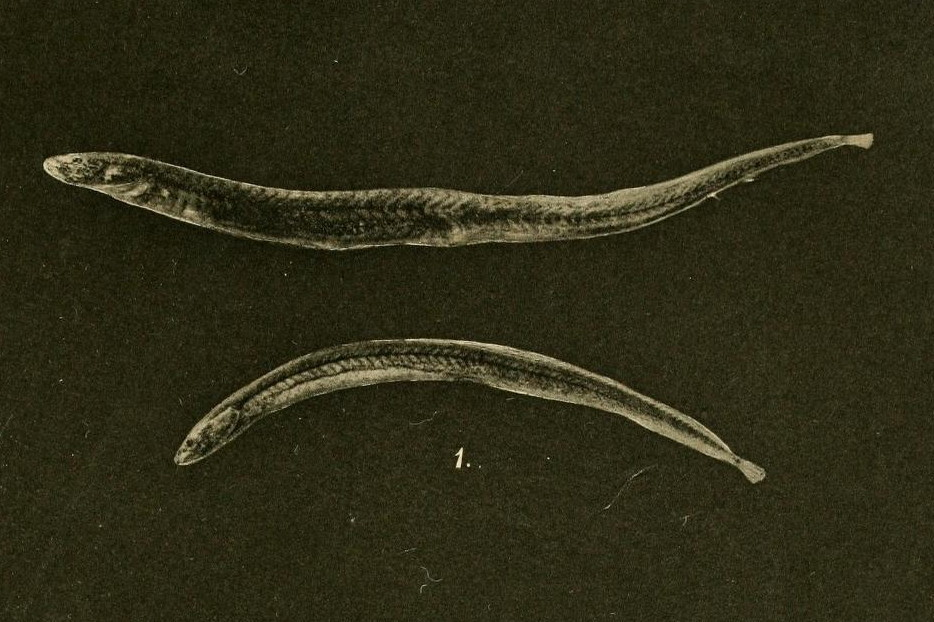 Image of earthworm eels