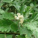 Image of <i>Sorbus pseudothuringiaca</i>