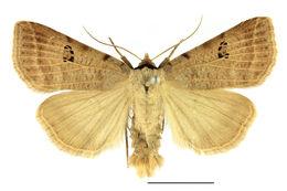 Image of <i>Lygephila viciae</i> (Hubner 1822) Hubner 1822