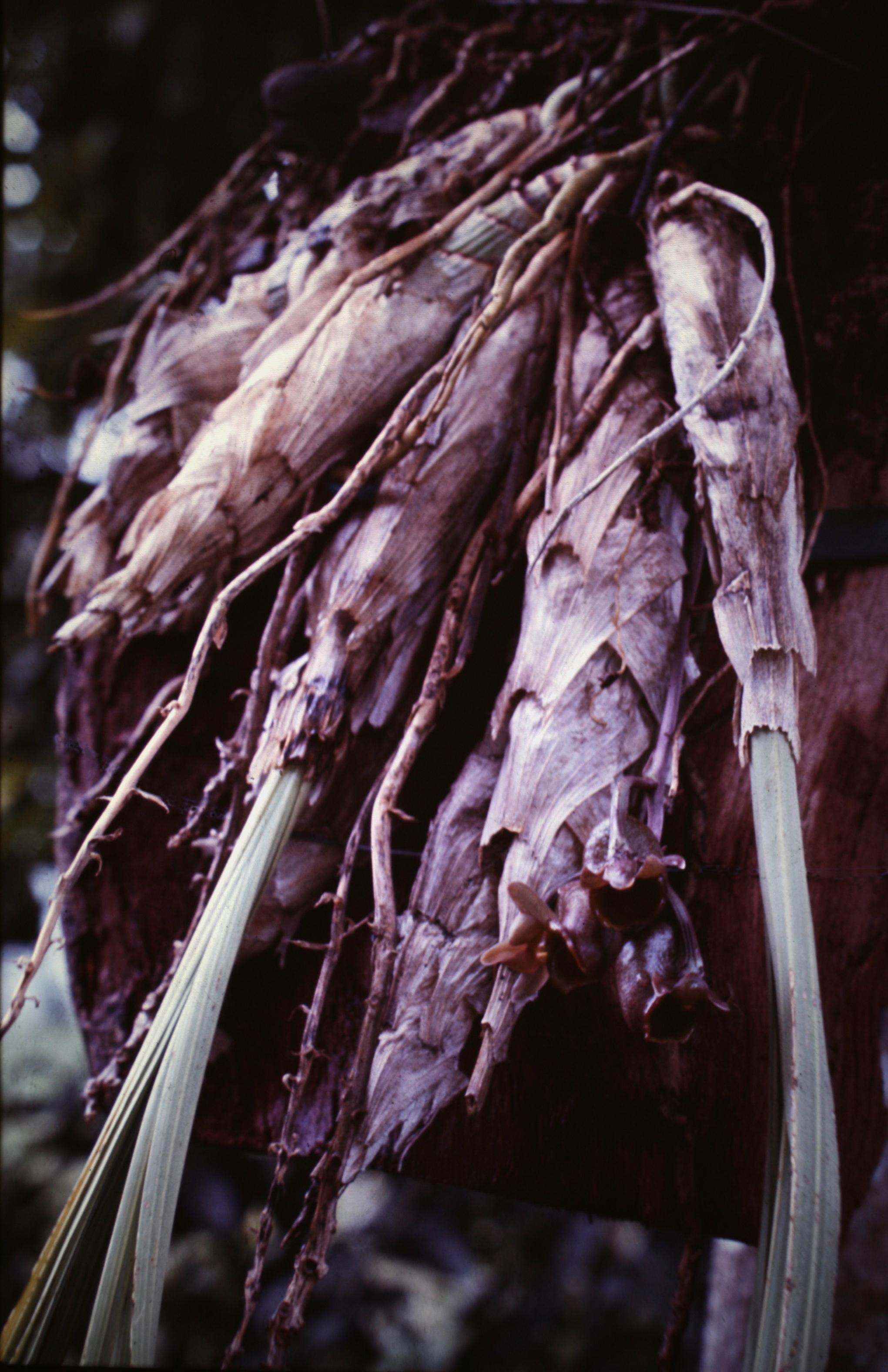 Image of <i>Catasetum longifolium</i> Lindl.