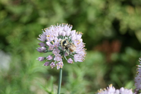 Image of Broad-leaved Chives