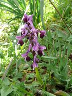 Image of Long-spurred orchid