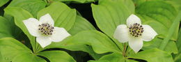 Image of bunchberry dogwood