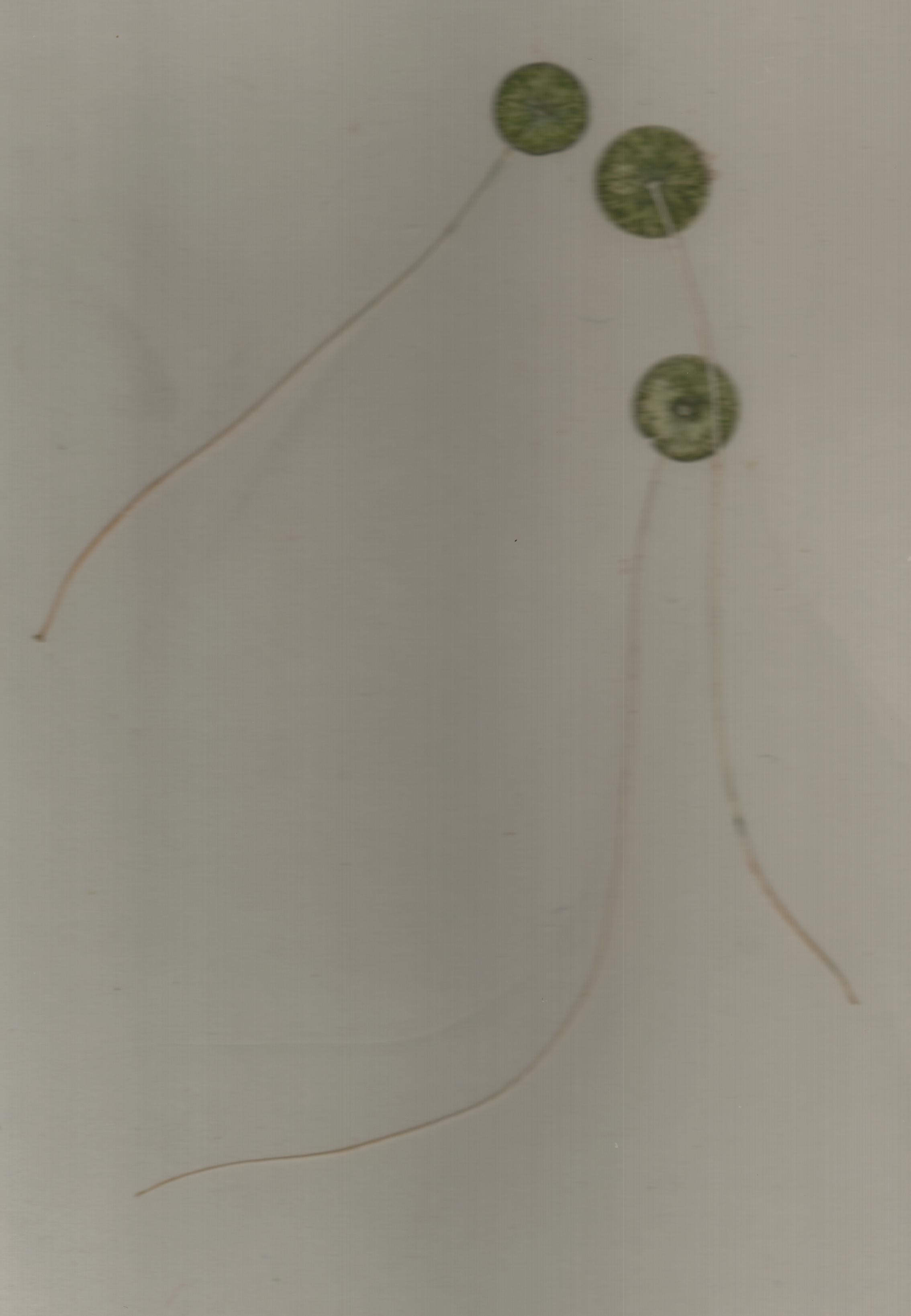 Image of Mermaid's Wineglasses