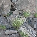 Image of <i>Stipagrostis obtusa</i> (Delile) Nees