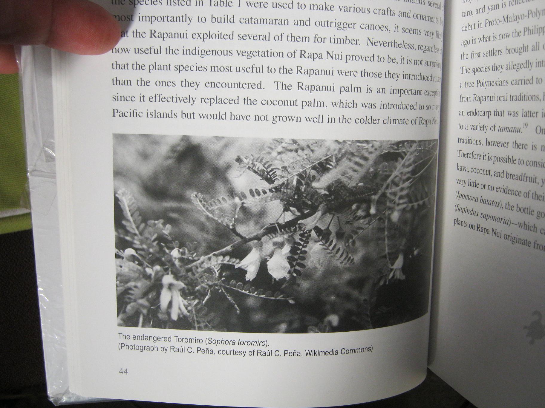 Image of Toromiro tree