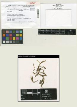 Image of Acrobolbaceae