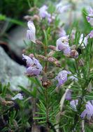 Image of Cumberland false rosemary