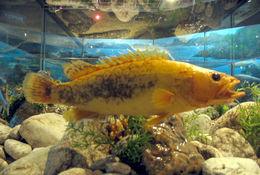 Image of Golden mandarin fish
