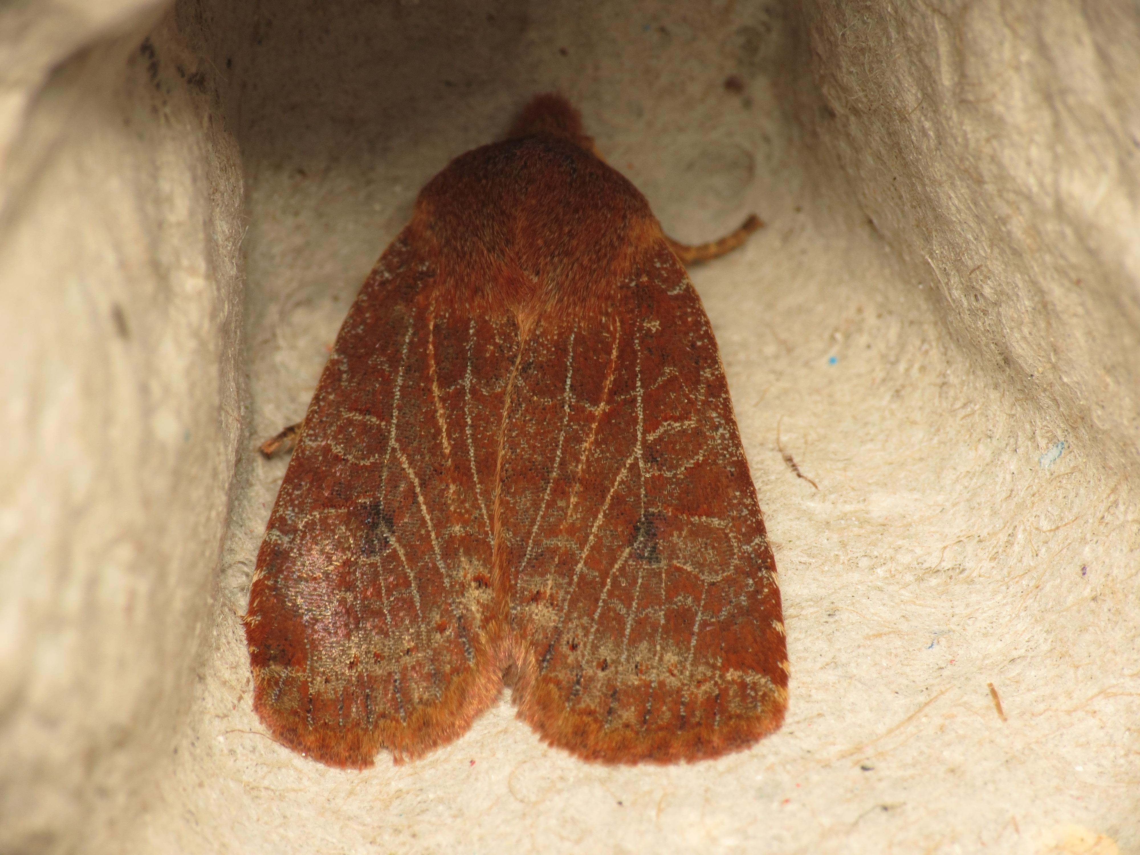 Image of <i>Conistra vaccinii</i> Linnaeus 1761