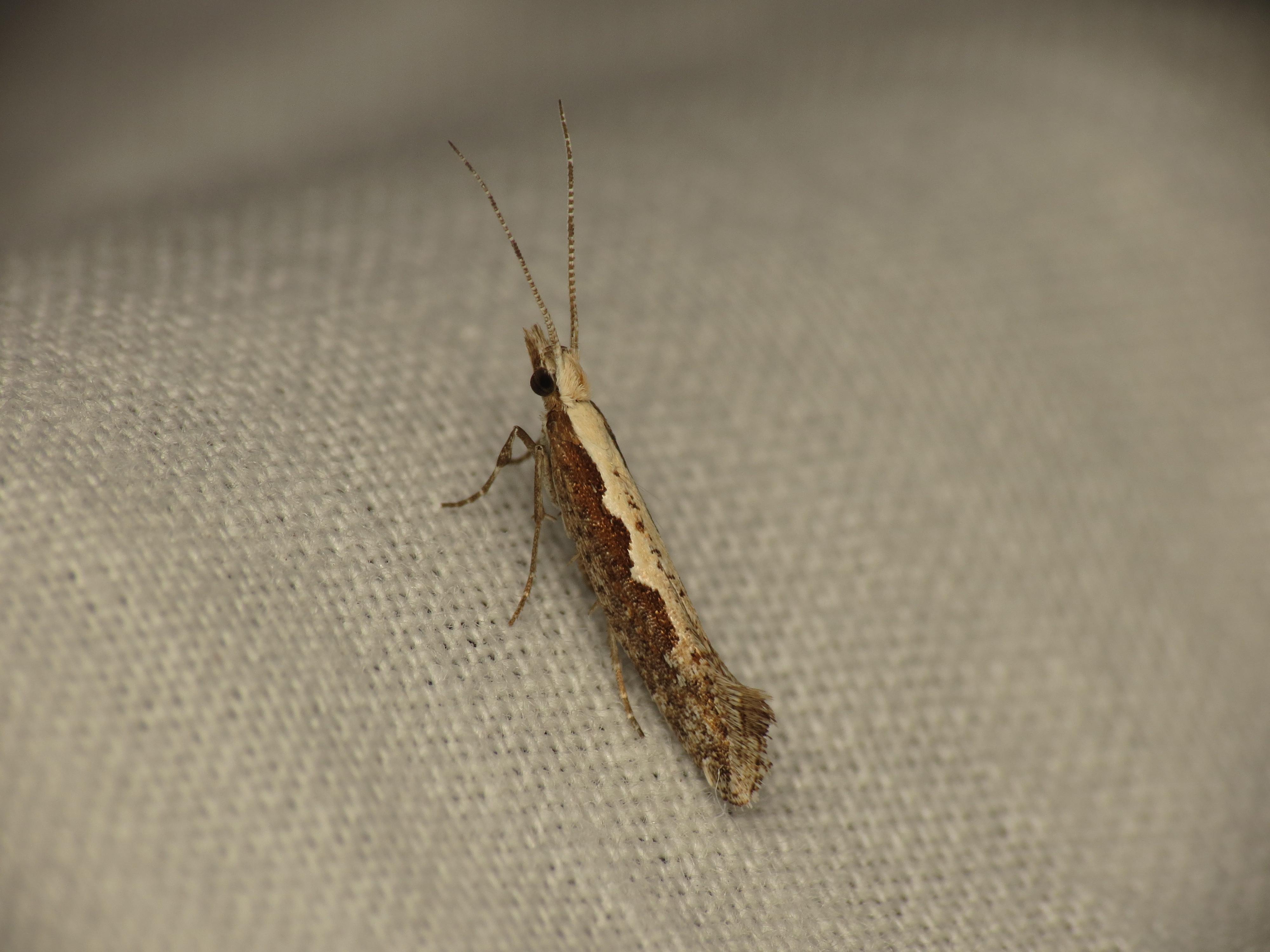 Image of Plutella