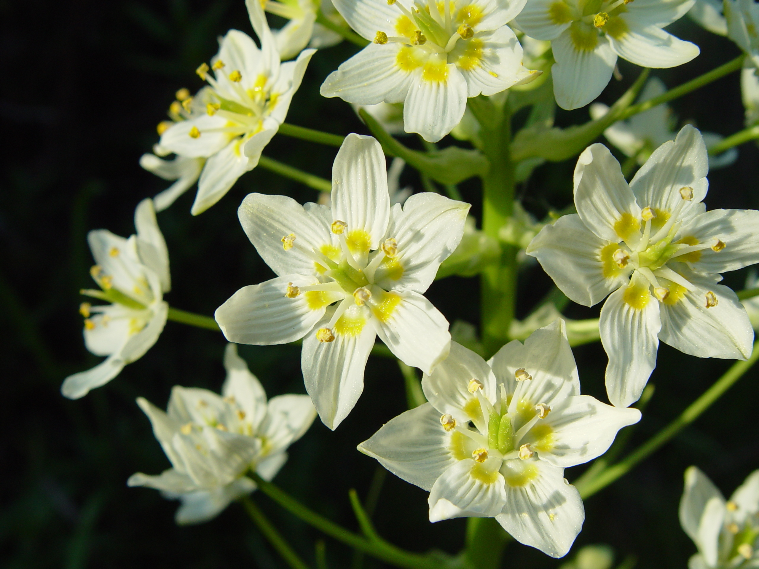 Image of common star lily