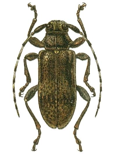 Image of <i>Oplosia cinerea</i> (Mulsant 1839)