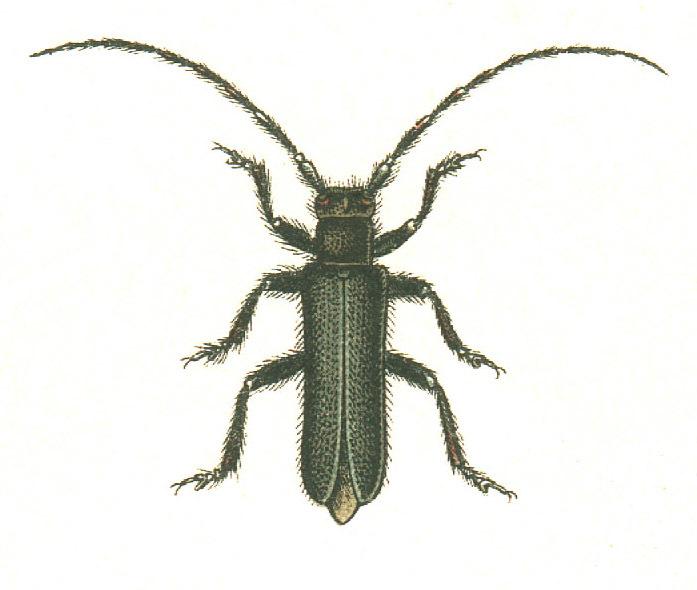 Image of <i>Stenostola ferrea</i> (Schrank 1776)