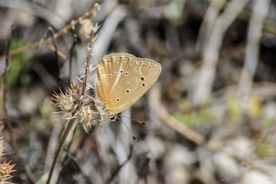 Image of <i>Polyommatus violetae</i> (Gomez-Bustillo, Exposito & Martinez 1979) Gomez-Bustillo, Exposito & Martinez 1979