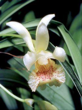 Image of Daiotyla