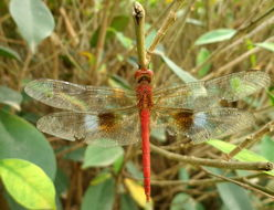 Image of Coral-tailed Cloud Wing
