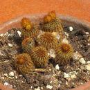 Image of <i>Frailea pygmaea</i> (Speg.) Britton & Rose