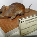 Image of Korean Field Mouse