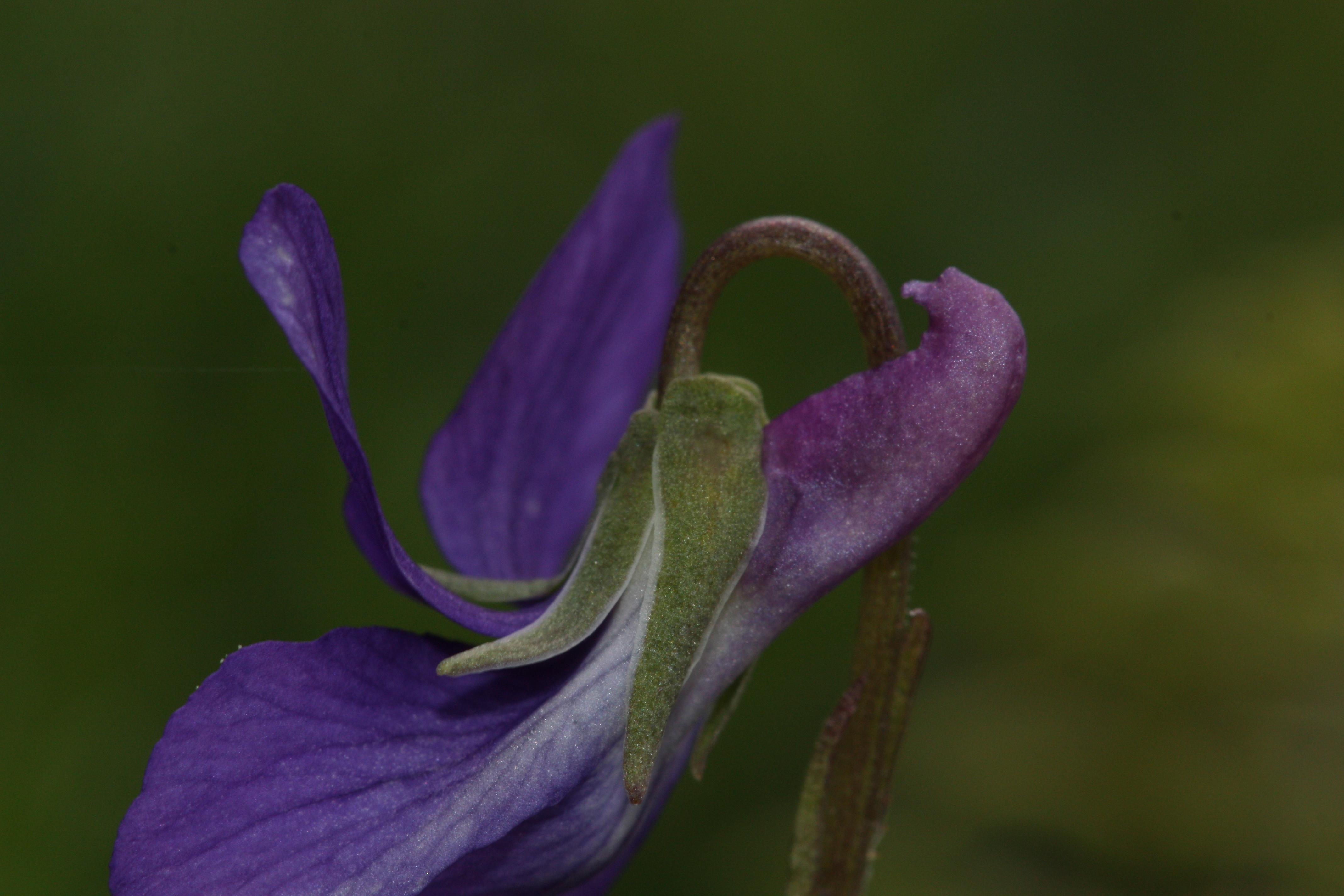 Image of hookedspur violet