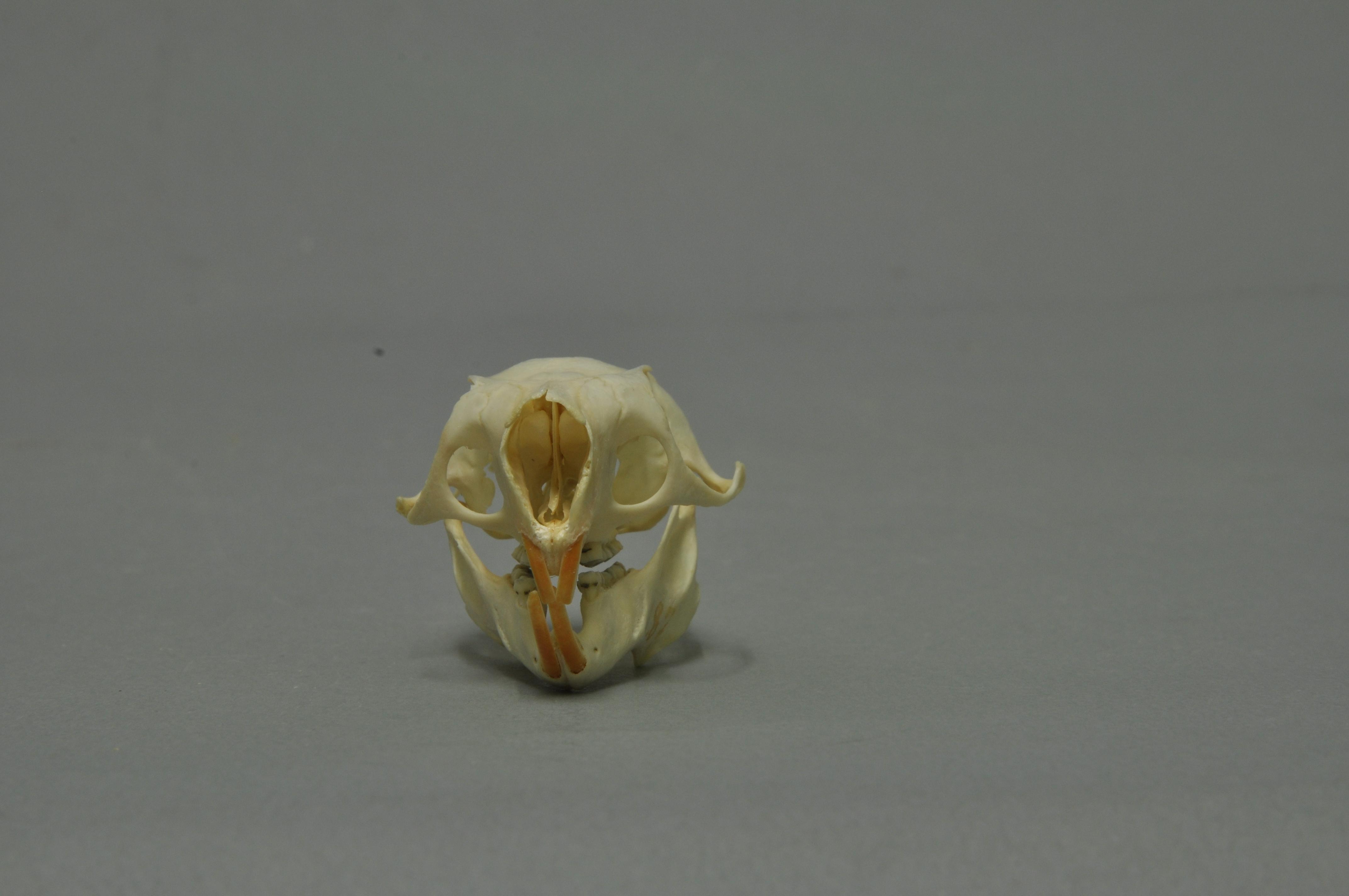 Image of Beecroft's Flying Squirrel