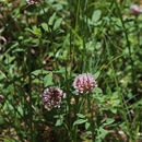 Image of longstalk clover