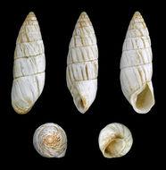 Image of <i>Brephulopsis cylindrica</i> (Menke 1828)
