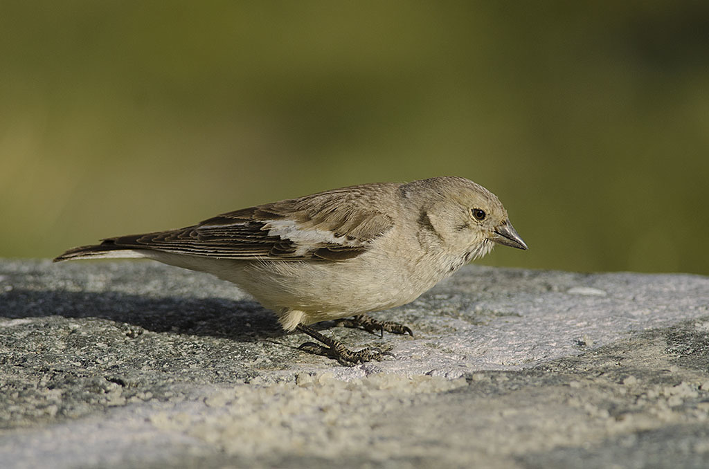 Image of Black-winged Snowfinch