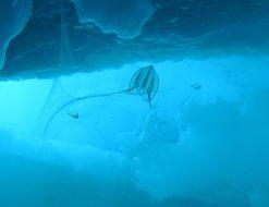 Image of Arctic sea gooseberry