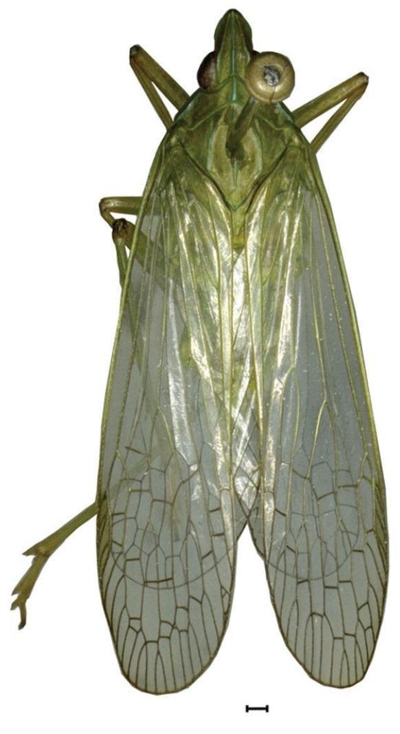 Image of <i>Dictyotenguna angusta</i> Zheng & Chen 2012
