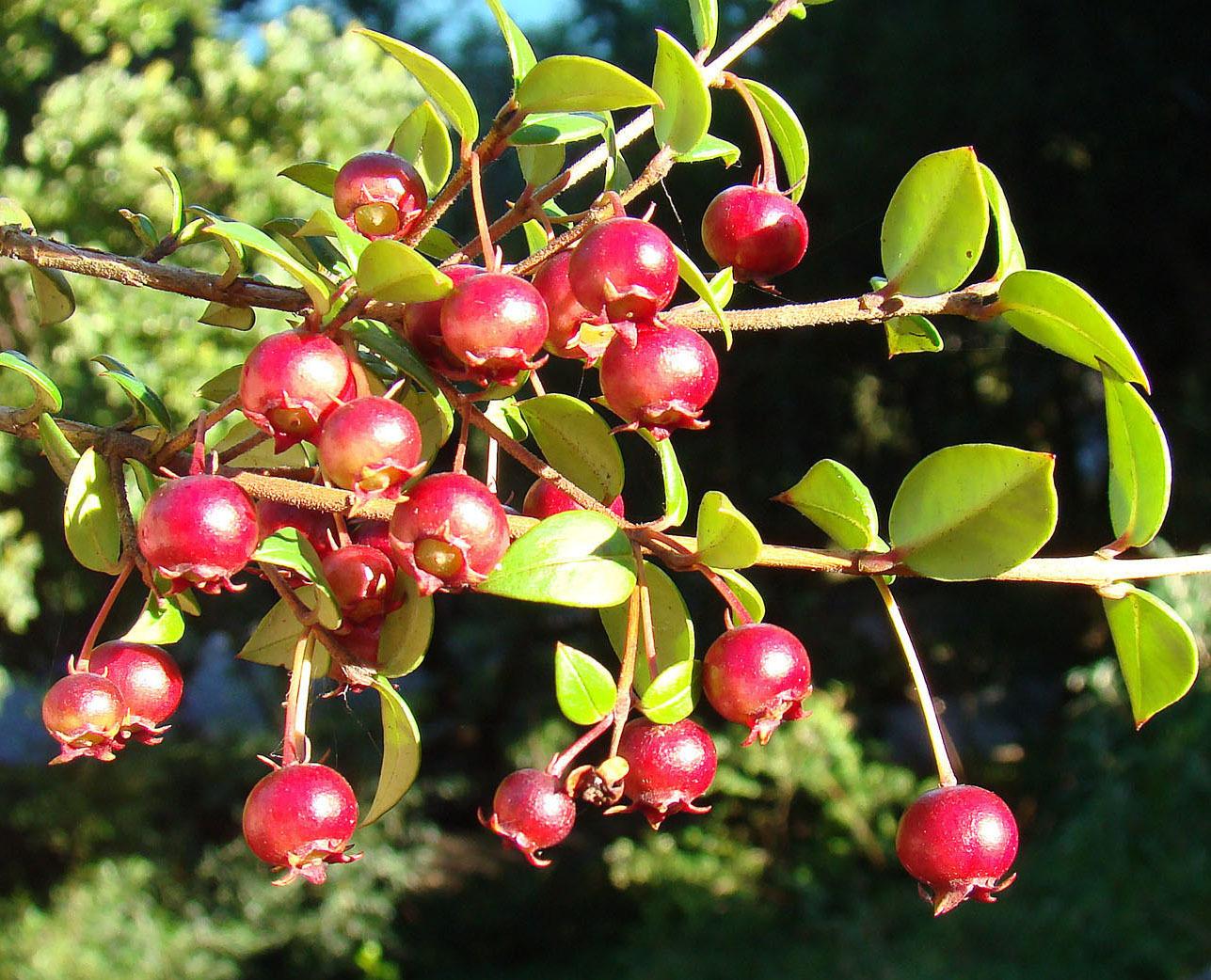 Image of Chilean guava