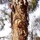 Image of <i>Eucalyptus benthamii</i> Maiden & Cambage