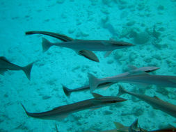 Image of Remora
