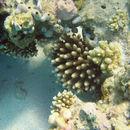 Image of Finger Coral