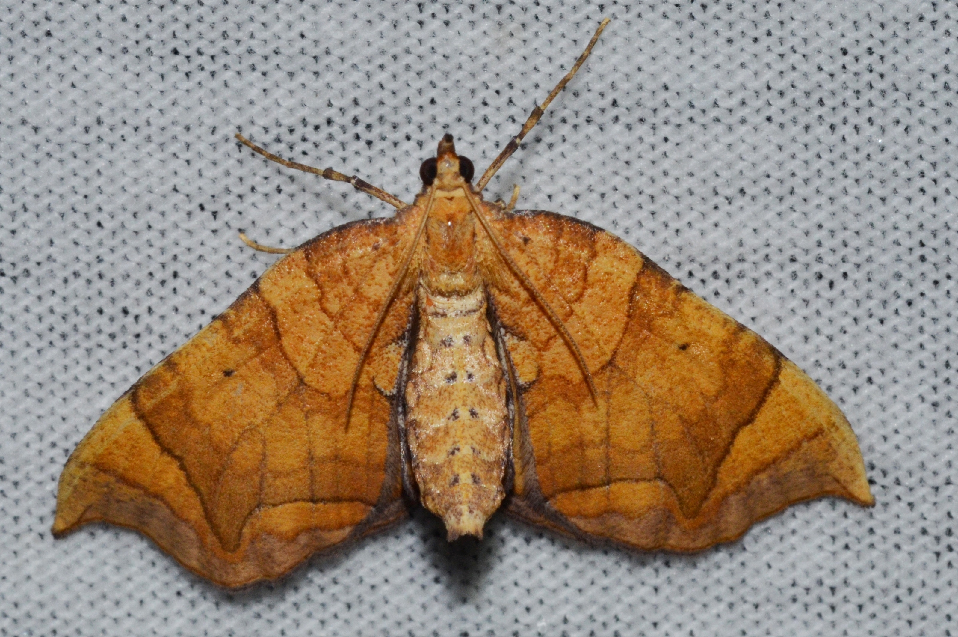Image of Lesser Grapevine Looper Moth