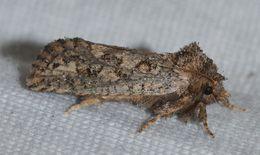Image of <i>Acrolophus arcanella</i>
