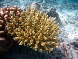 Image of Staghorn coral