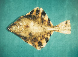 Image of Starry Flounder