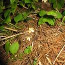Image of Ephippianthus