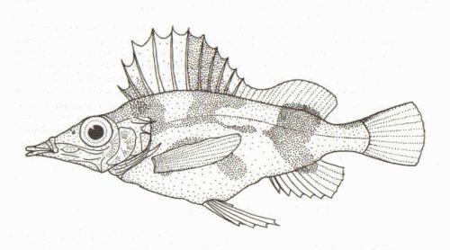 Image of Alert pigfish