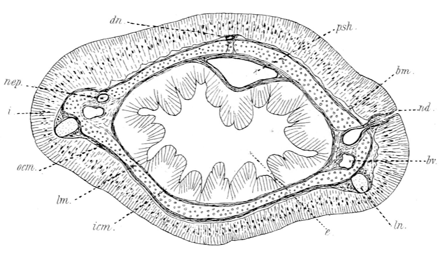 Image of <i>Tubulanus polymorphus</i> Renier 1804