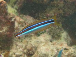 Image of Plagiotremus